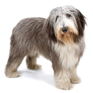 Bearded Collie - carousel