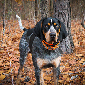 Blue Tick Coonhound 300x300