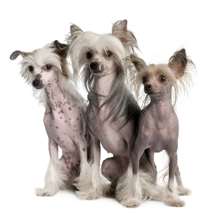Chinese Crested - carousel