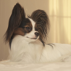Continental Toy Spaniel 1