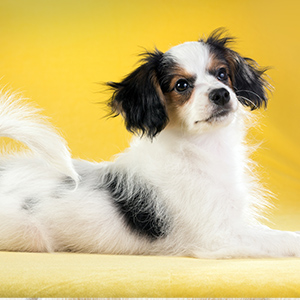 Continental Toy Spaniel 2