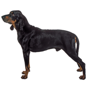 Coonhound (Black and Tan) - carousel