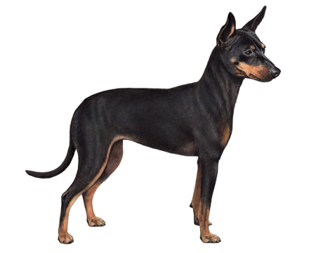 Black and Tan English Toy Terrier