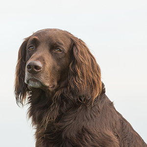 German Longhaired Pointer 1