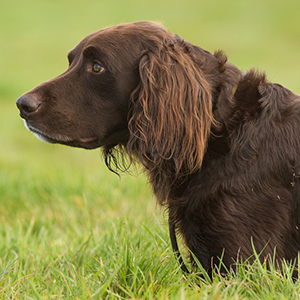 German Longhaired Pointer 2