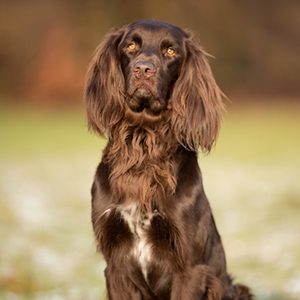 German Longhaired Pointer 3