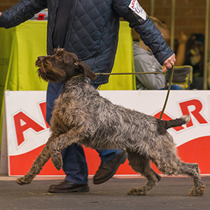 German Roughhaired Pointer 1
