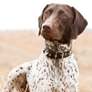 German Shorthaired Pointer - carousel