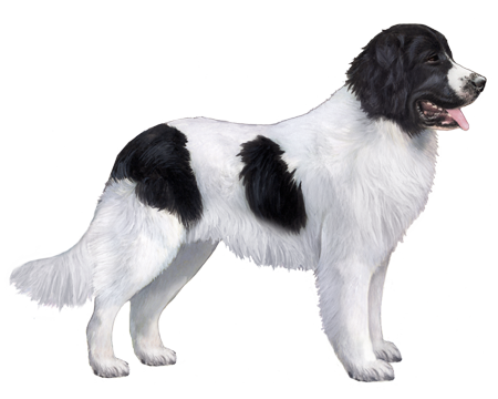 Landseer (European Continental Type)