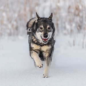 Swedish Elkhound 1